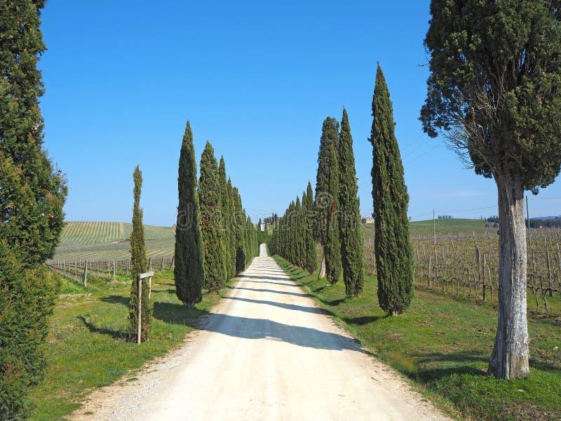 Toskana, Landschaft einer Zypressenallee nahe den Weinbergen lizenzfreies stockfoto