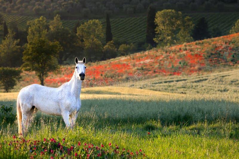 Toskanisches Pferd auf dem Mohnblumengebiet lizenzfreie stockbilder