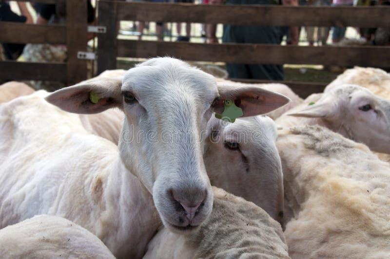 Tosquia de ovinos imagem de stock