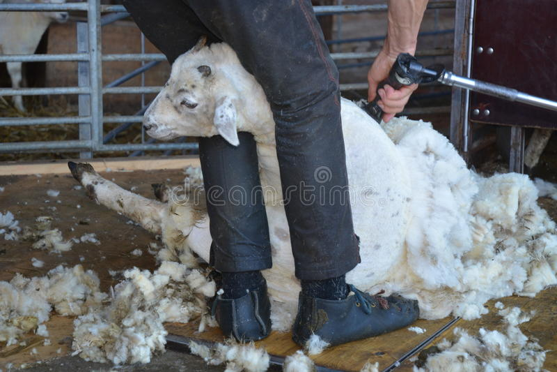 Tosquia de ovinos foto de stock