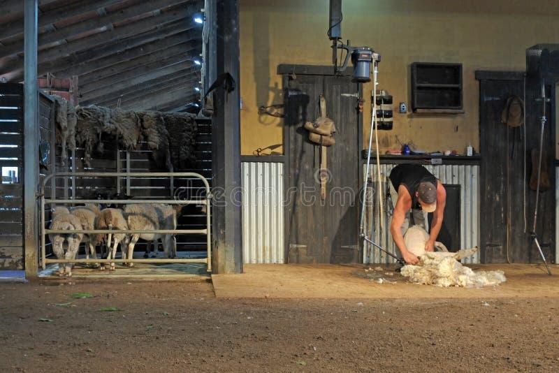 Tosquia de ovinos australiana irreconhecível do fazendeiro fotos de stock