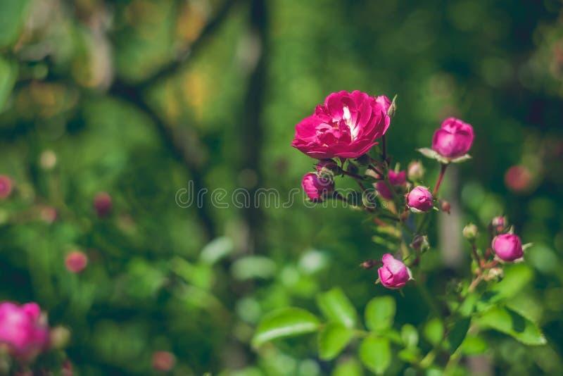 Tot bloei gekomen nam op een goed vage groene backround toe royalty-vrije stock foto's