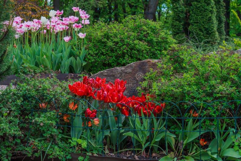 Tot bloei gekomen rode tulpen en Tulipa Gesneriana royalty-vrije stock foto