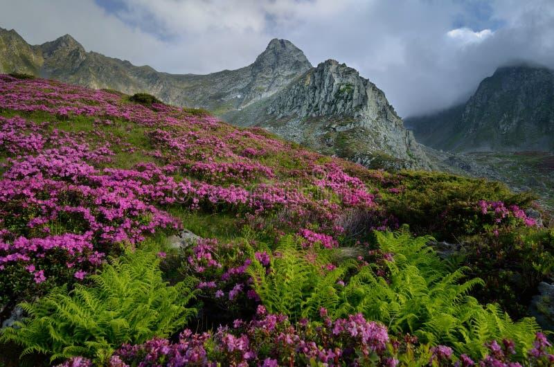 Tot bloei gekomen rododendrons hoog in de bergen stock foto's