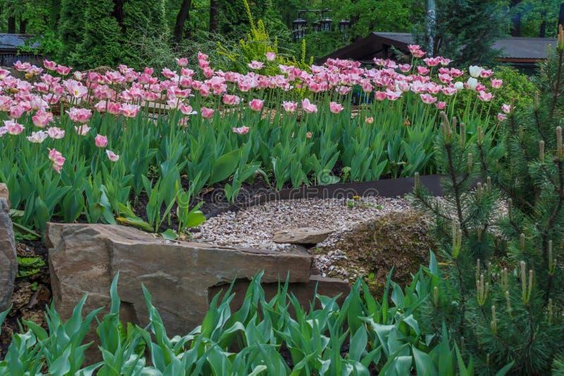 Tot bloei gekomen Tulipa Gesneriana royalty-vrije stock afbeelding
