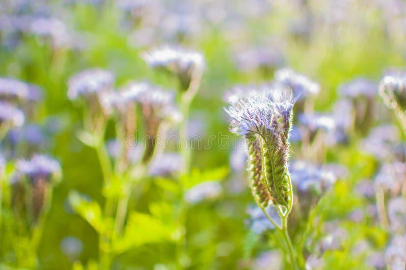 Tot bloei komend bijenweiland in het zonlicht Violet-bloeit Phacelia Weidebloemen die purple en blauw bloeien stock afbeelding