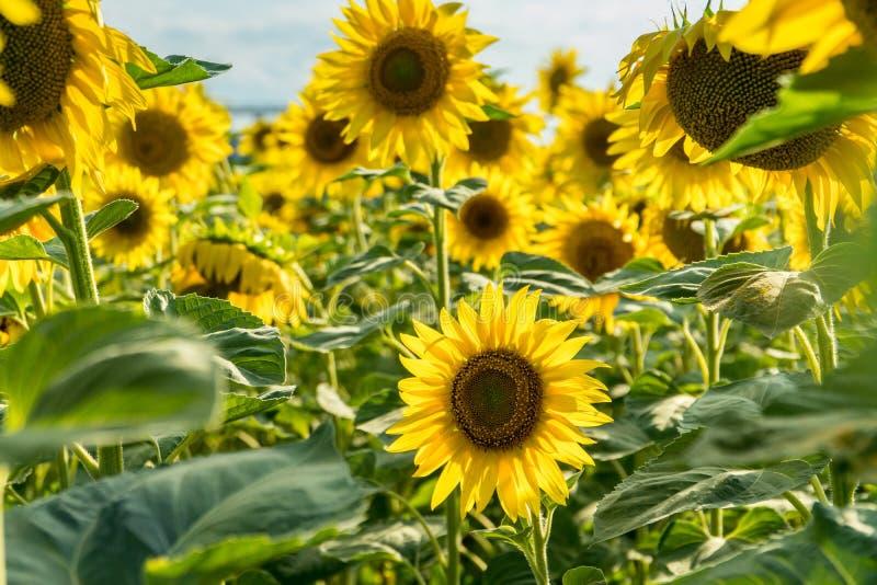 Tot bloei komend zonnebloemgebied stock fotografie
