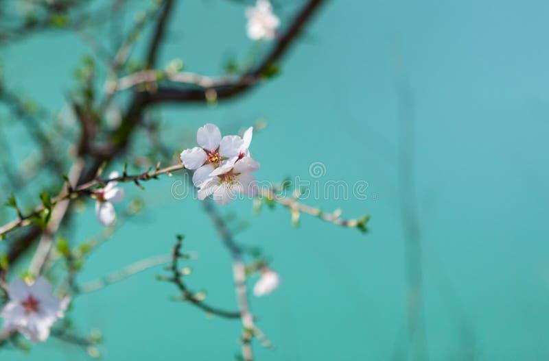 Tot bloei komende amandelboom De Achtergrond van de de lenteaard, selectieve nadruk, ondiepe velddiepte royalty-vrije stock afbeeldingen