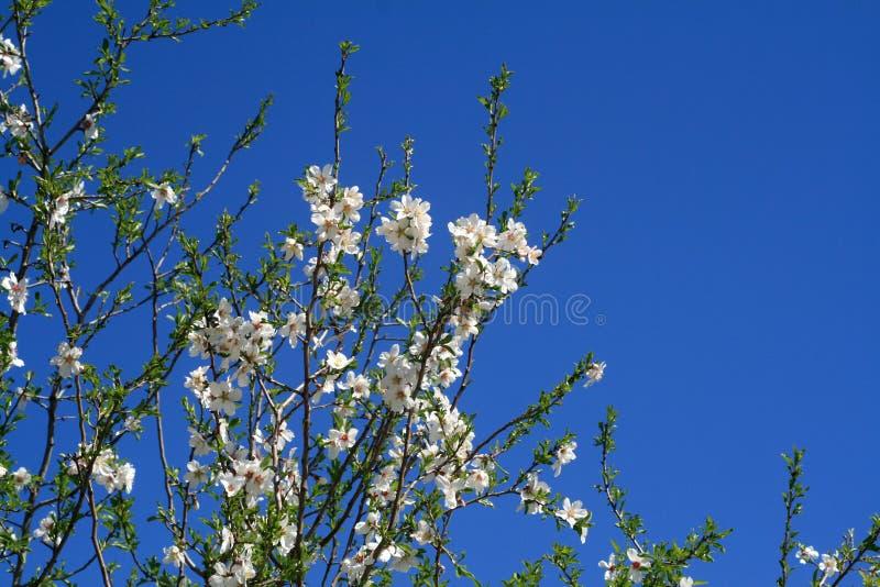 Tot bloei komende amandelboom op een zonnige de lentedag royalty-vrije stock afbeeldingen