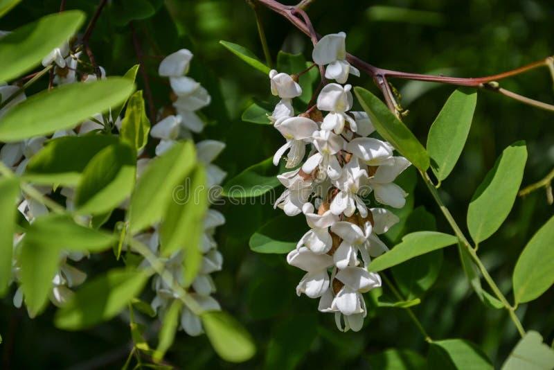 Tot bloei komende bloemen van zwarte sprinkhaan & x28; Robinia pseudoacacia& x29; het hangen op boomtak in de lente stock foto's