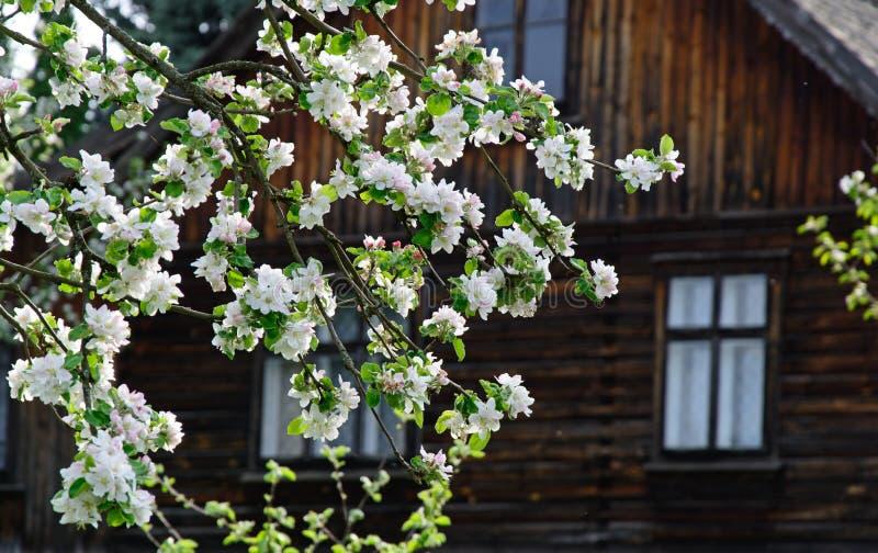 Tot bloei komende boom dichtbij het huis stock afbeelding