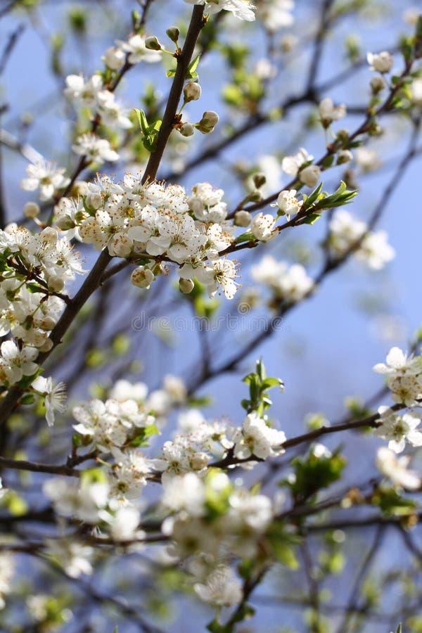 Tot bloei komende boomgaard in de lente De bloeiende boom van de pruimboomgaard op een blauwe hemelachtergrond De achtergrond van stock fotografie