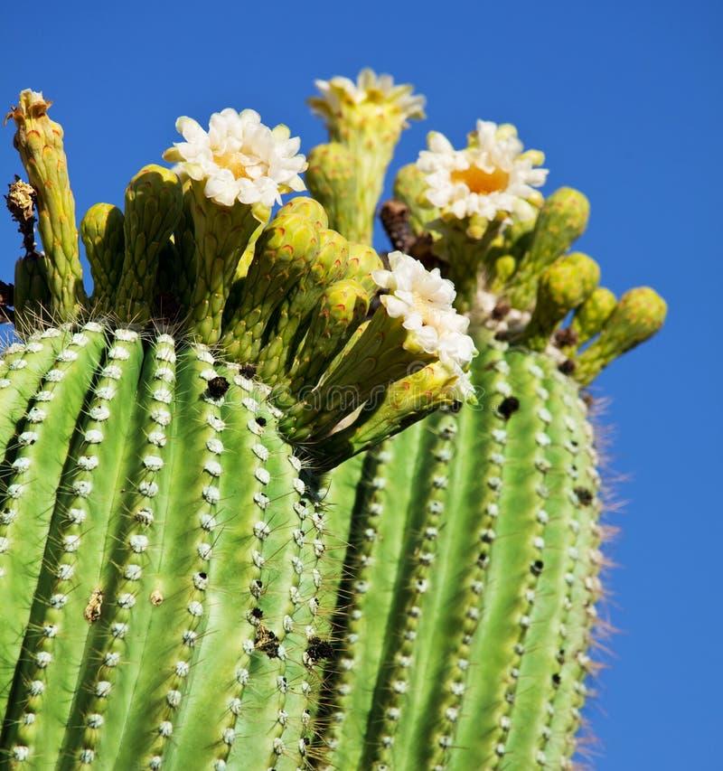 Tot bloei komende cactus stock foto
