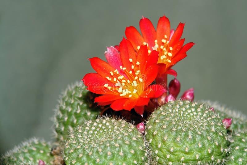 Tot bloei komende cactus. royalty-vrije stock foto