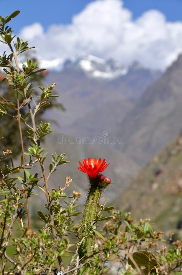 Tot bloei komende Cactus met sneeuw piekberg royalty-vrije stock afbeeldingen