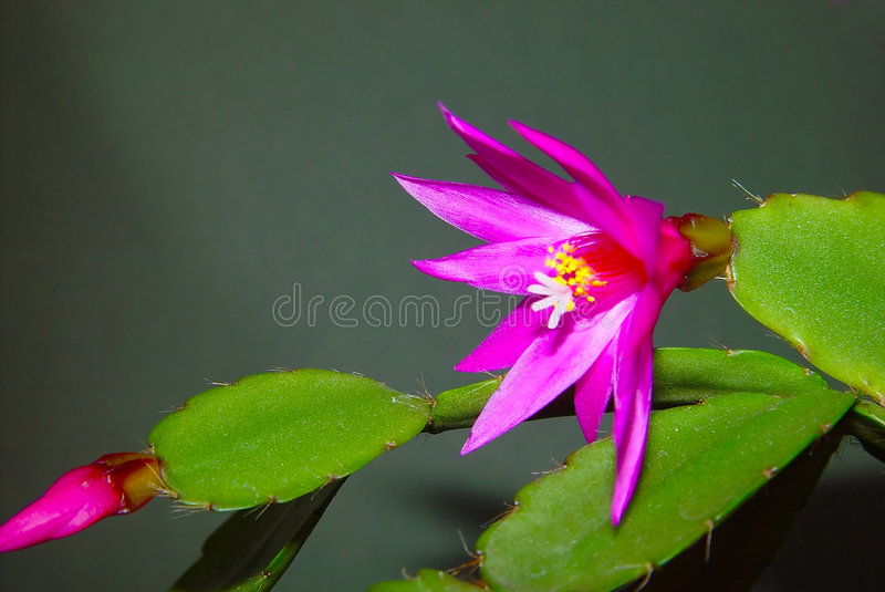 Tot bloei komende cactus Schlumbergera. royalty-vrije stock fotografie