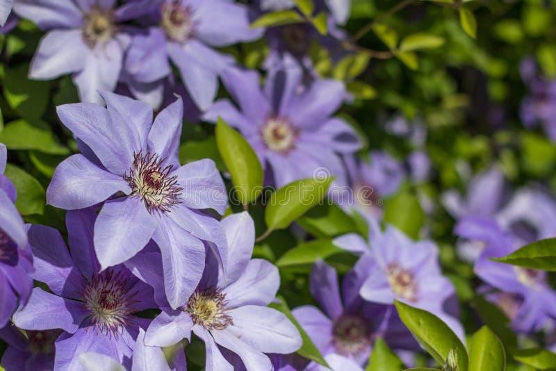 tot bloei komende clematissen stock foto
