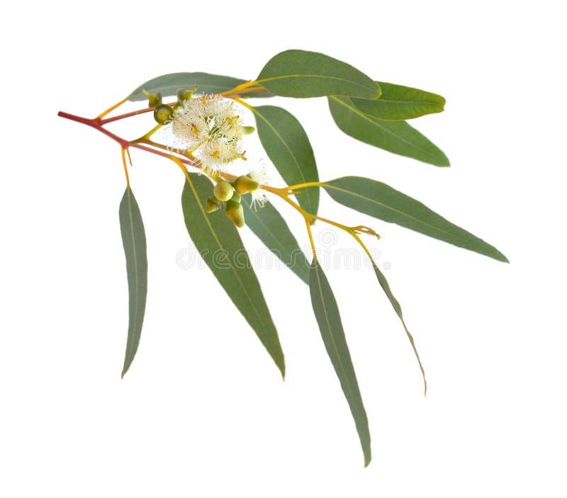 Tot bloei komende eucalyptus Geïsoleerdj op witte achtergrond royalty-vrije stock afbeeldingen