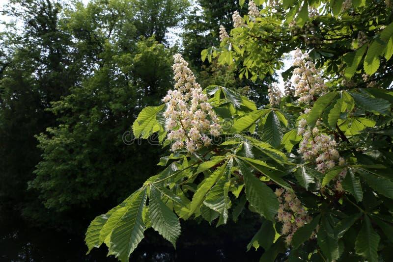 Tot bloei komende kastanjeboom in de lenteclose-up royalty-vrije stock afbeelding