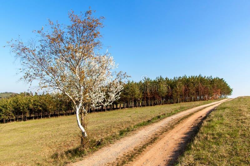 Tot bloei komende kers op een landweg in het Tsjechische platteland Wilde kersenboom in de lente de lentedag in het platteland royalty-vrije stock fotografie