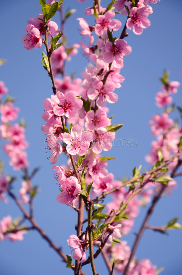 Tot bloei komende kersen roze bloemen stock foto