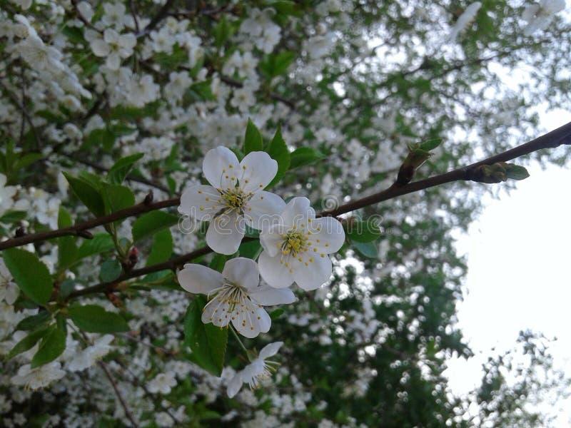 Tot bloei komende kersenbloemen stock foto
