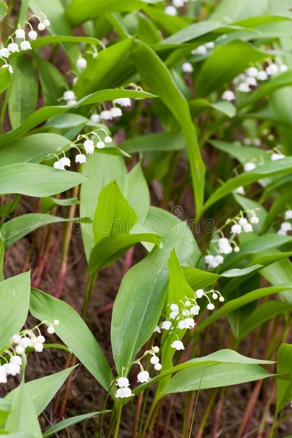 Tot bloei komende lelies royalty-vrije stock foto's