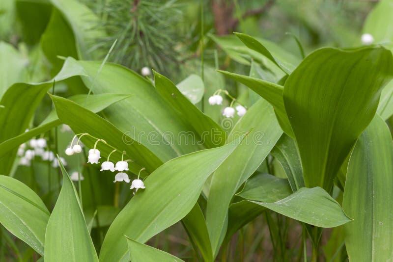 Tot bloei komende lelies stock afbeeldingen