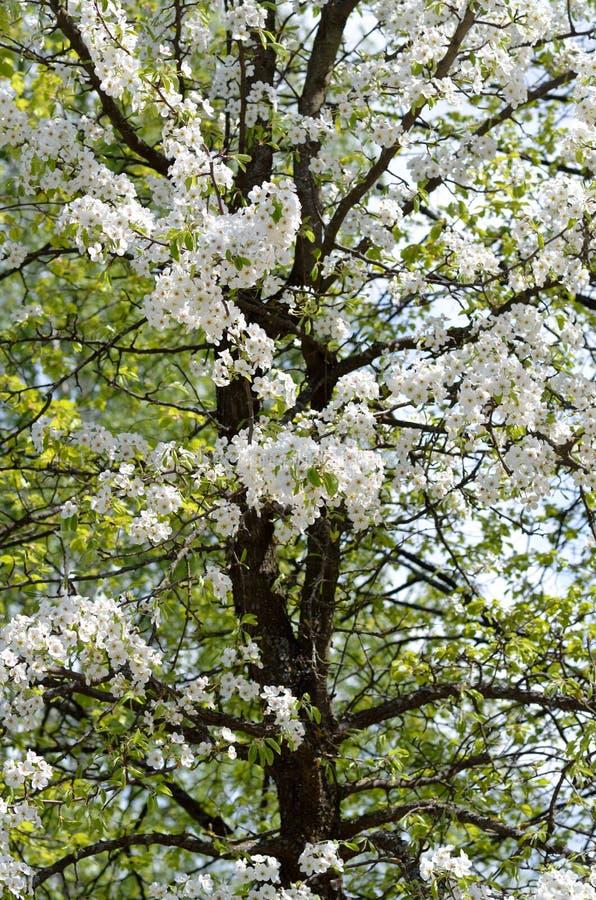 Download Tot Bloei Komende Perenboom Stock Foto - Afbeelding bestaande uit bloemen, ontruim: 54087124