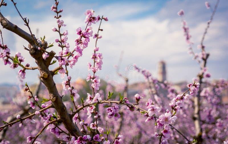 Tot bloei komende perzikboom in de lente stock foto