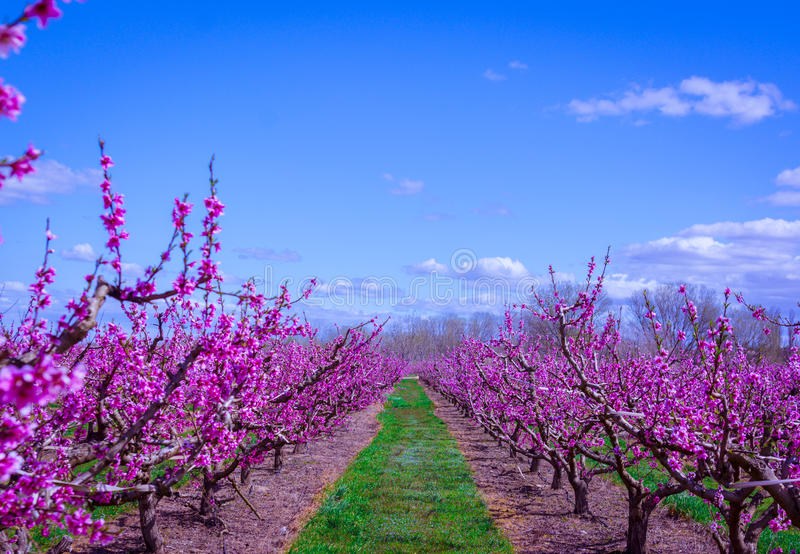 Tot bloei komende perzikboom in de lente royalty-vrije stock foto