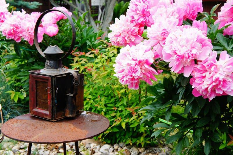 Tot bloei komende pioenen en een oude lantaarn stock afbeeldingen