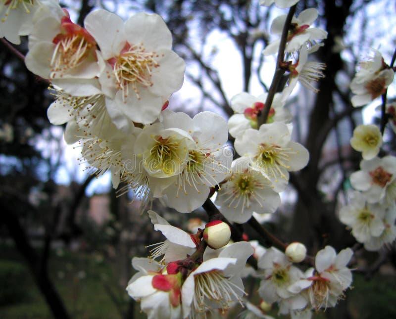 Tot bloei komende pruimboom stock foto