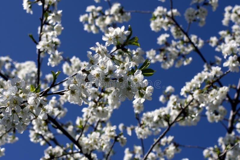 Tot bloei komende pruimboom stock afbeelding