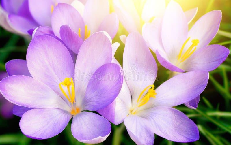 Tot bloei komende purpere krokusbloemen in zonlicht stock afbeelding