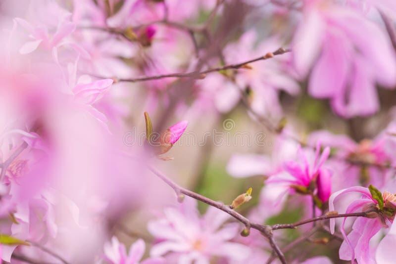 Tot bloei komende roze bloemachtergrond, natuurlijk behang De bloeiende zeldzame tak van magnoliastellata in de lentetuin royalty-vrije stock afbeeldingen