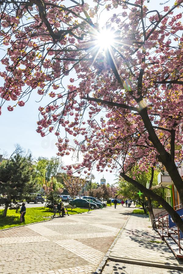 Tot bloei komende roze sakurabomen op de straten van Uzhhorod, de Oekraïne stock fotografie
