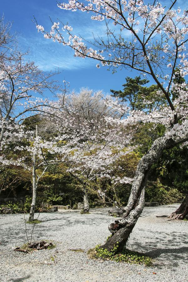 Tot bloei komende sakurabomen in een siertuin, pastelkleuren met dromerig gevoel stock foto