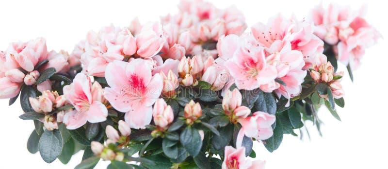 Tot bloei komende struik van een azalea stock afbeeldingen