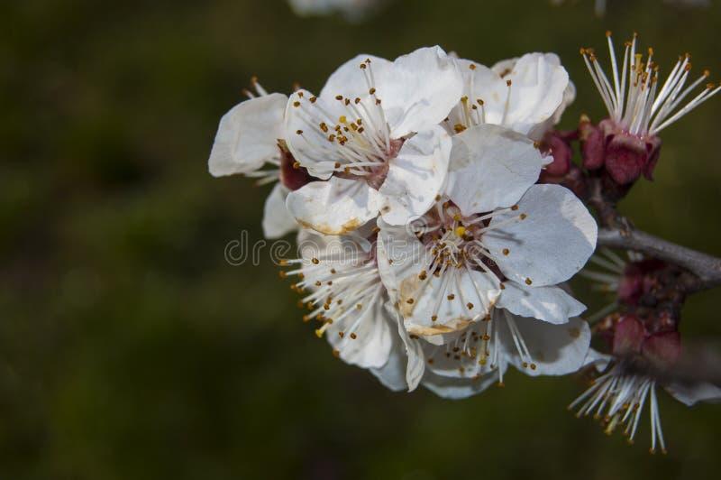 Tot bloei komende tak vage achtergronden in de lente royalty-vrije stock foto's