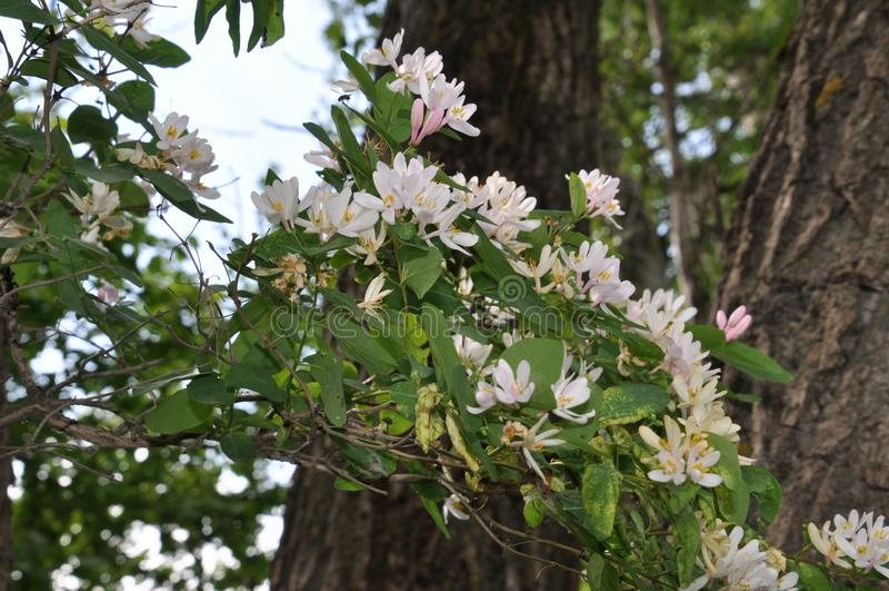 Tot bloei komende tak van kamperfoelie stock afbeeldingen