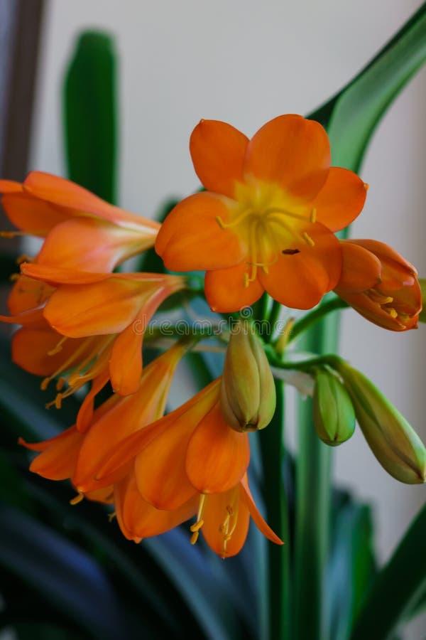 Tot bloei komende tak van oranje bloemen van clivia in een bloempot royalty-vrije stock afbeelding