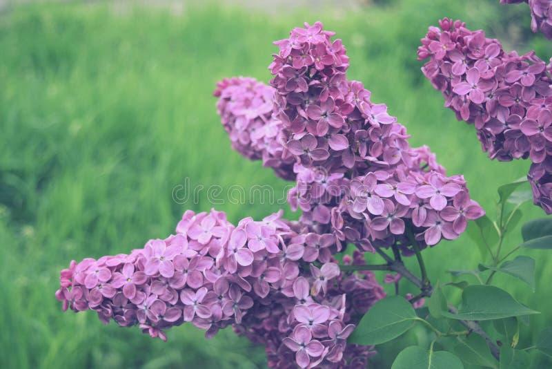 Tot bloei komende tak van violette lilac bloem De aard van de lente stock fotografie