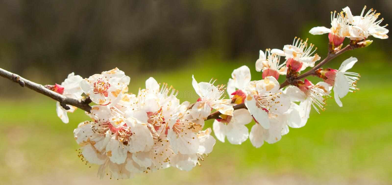 Tot bloei komende takken van een boom royalty-vrije stock afbeeldingen