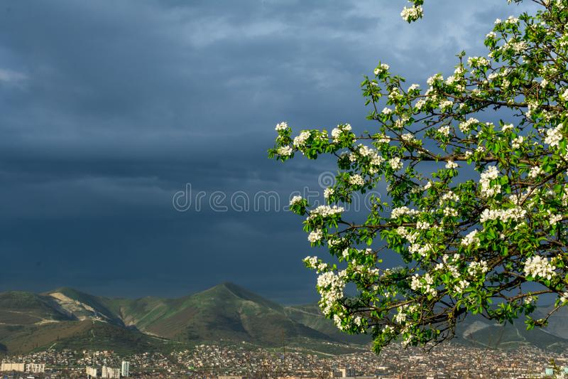 Tot bloei komende takken van een perenboom met jonge groene bladeren in de hoek van het kader tegen de achtergrond van een storma stock foto's
