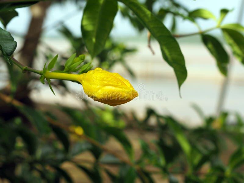 Tot bloei komende wilde Gouden Alamanda Yellow Bell-bloem met regendruppels in tropisch Suriname Zuid-Amerika stock afbeelding