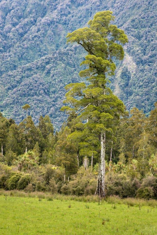Totara drzewny dorośnięcie w tropikalnym lesie deszczowym zdjęcie royalty free