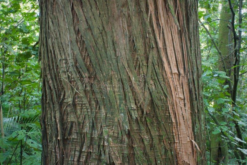 Totara drzewo zdjęcia royalty free