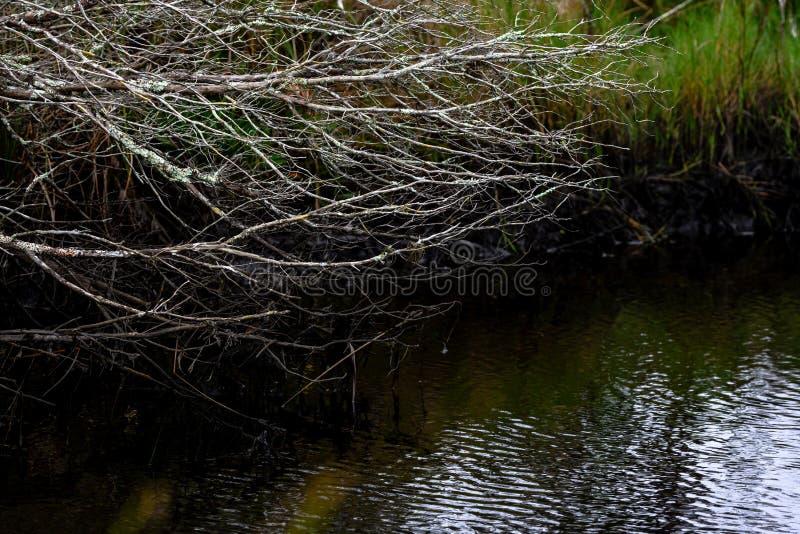 Tote Äste über Wasser in den Everglades lizenzfreie stockfotos