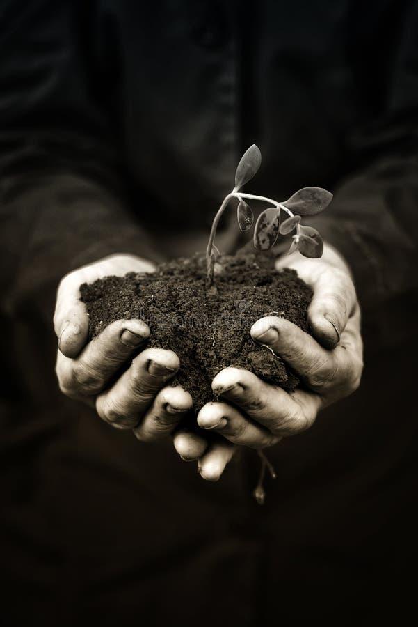 Tote Anlage in den Händen der landwirtschaftlichen Arbeitskraft lizenzfreie stockbilder